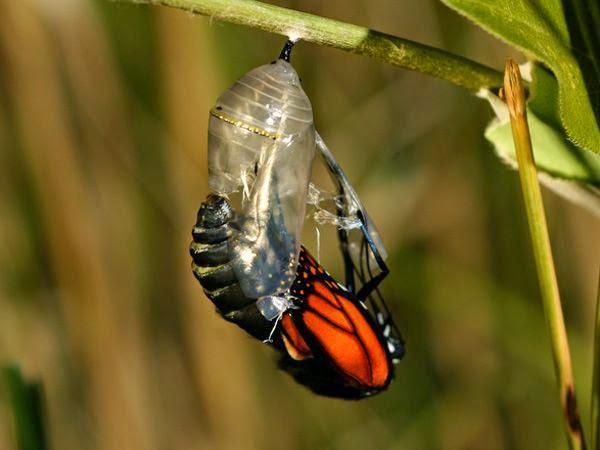 Kết quả hình ảnh cho cái kén bướm